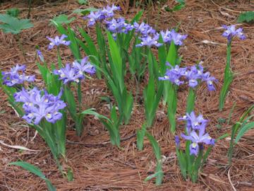 crested-iris